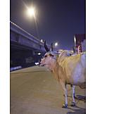 Nachtleben, Kuh, Rind, Indien, Delhi