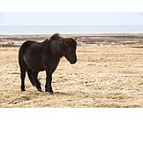 Wind, Icelandic Horse