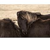 Weather, Wind, Icelandic Horse