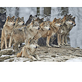 Wolf, Wolf pack