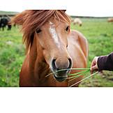 Feeding, Icelandic horse
