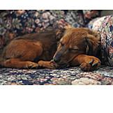 Zuhause, Schlafen, Hund