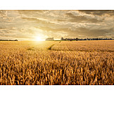 Agriculture, Wheat Field, Corn Field