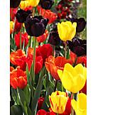 Tulips, Tullips