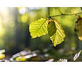 Natur, Zweig, Buchenblatt