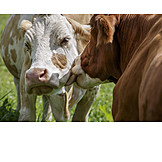 Cow, Affection, Lick