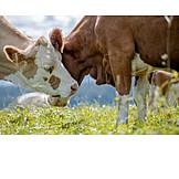 Cuddle, Cows