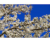 Close-up, Fruit Flower, Plum Blossom