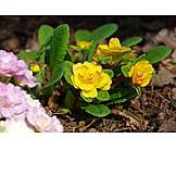 Blume, Makro, Primel