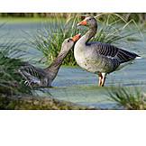 Greylag goose, Animal courtship