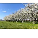 Cherry Tree, Spring, Fruit Tree, Fruit Growing, Fruit Orchard