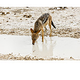 Black, Backed jackal