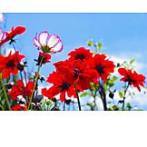 Flower, Dahlia