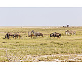 Plains zebra, Blue wildebeest