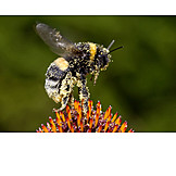 Bumble, Bee, Coneflower