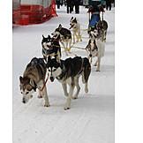 Sled dog, Sled dog, Dog sledding