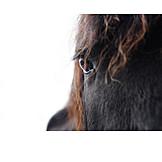 Horse, Friesian Horse