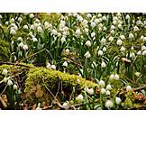 Frühling, Märzenbecher