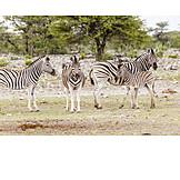 Zebra, Plains zebra