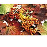 Autumn leaves, Berries