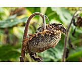 Sunflower, Dried