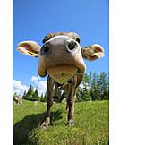 Cow, Snout
