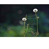 Dandelion, Relation, Cobweb