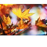 Autumn leaves, Maple leaf