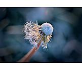 Dandelion, Frozen, Ice Crystals