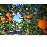 Oranges, Orange Plantation
