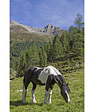 Horse, Grazing, ötztal Alps