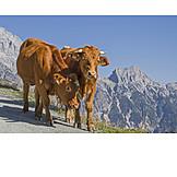Cows, Loferer Steinberge