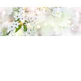 Frühjahr, Kirschblüten