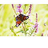 Butterfly, Peacock butterfly