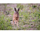 Rabbit, Hare