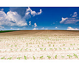 Agriculture, Sunflower Field, Crop