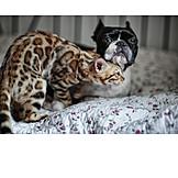 Katze, Hund, Freunde, Kuscheln, Boston Terrier, Bengal