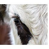 Cow, Eye