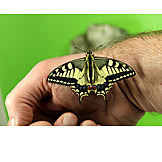 Hand, Swallowtail Butterfly