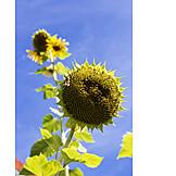 Sunflower, Faded