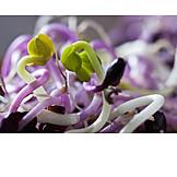 Seedlings, Radish sprouts