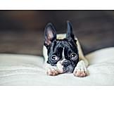 Welpe, Boston Terrier