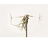Dandelion, Dried Plant