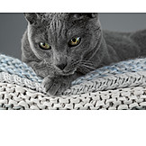 Cat, Russian Blue