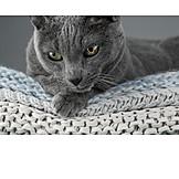 Katze, Russisch Blau