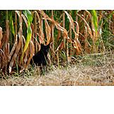 Maisfeld, Schwarze Katze