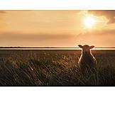 Sunset, Sheep
