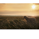 Sheep, Dyke Sheep