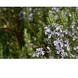Blossom, Rosemary