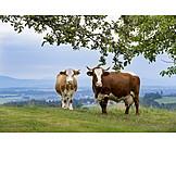 Cows, Bavaria